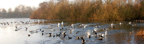 Veel watervogels samen kunnen een groot wak openhouden